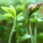Набор для выращивания микрозелени MAXI (12 урожаев)
